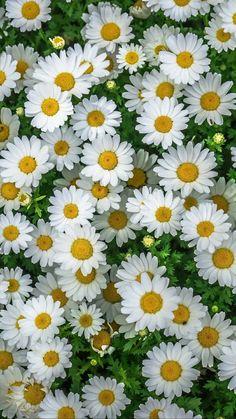 Flowers wallpaper daisy ideas for 2019 My Flower, Pretty Flowers, White Flowers, Daisy Flowers, Spring Flowers, Beautiful Landscapes, Beautiful Gardens, Daisy Love, Beautiful Flowers Wallpapers