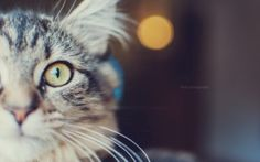 Preview wallpaper cat, muzzle, eyes, fluffy