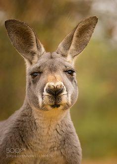 kangaroo de RobertAdamec