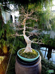 Bonsaï & Penjing - Trident maple - Acer buergerianum - Aceraceae - 40 years old