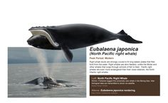 ballena franca del pacifico norte, eubalaena japónica