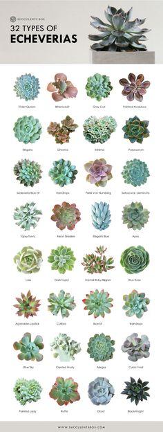 Echeveria Collection 32 types of Echeveria - Garden Types Succulent Outdoor, Succulent Landscaping, Succulent Gardening, Succulent Ideas, Gardening Tools, Succulent Terrarium Diy, Succulent Wall Art, Container Gardening Vegetables, Outdoor Cactus Garden