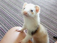 Camouflage Andris Ferrets