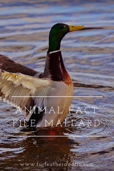 Find out some interesting facts about mallard ducks in our latest animal fact file! Informations Abo Animal Fact File, Animal Facts For Kids, Like Animals, Animals For Kids, Duck Species, Animals Information, Extinct Animals, Mallard, Interesting Facts