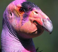 Ugly Animals: California condor