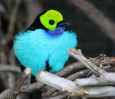 exotic birds | The Green Lantern of the Animal Kingdom – The Paradise Tanager ~ The ...