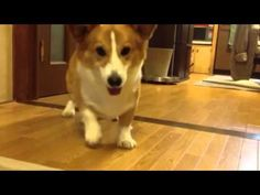 Corgi's adorable happy dance when playing fetch (VIDEO) » DogHeirs | Where Dogs Are Family « Keywords: Pembroke Welsh Corgi, dance, fetch, ball