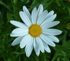 I want a Daisy