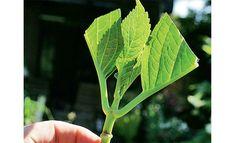 Hortensien vermehren: Schritt 1von 3