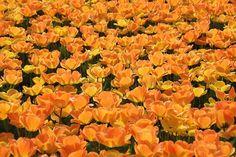 Tulppaanit, Holland, Tulip Kentät