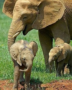 I love them. .!! Credit : @iloveelephant262 - Buy elephant tshirt now in my website => http://ift.tt/2qjEiJY or see website on my profile . . For info about promoting your elephant art or crafts send me a direct message @elephant.gifts or email elephantgifts@outlook.com . Follow @elephant.gifts for beautiful and inspiring elephant images and videos every day! . #elephant #elephants #elephantlove