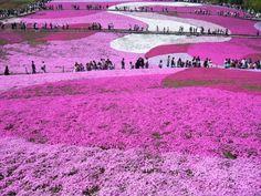 100k m2 de subulatas púrpuras (Moss Phlox o Flox musgoso) florecen en la ciudad de Takinoue, en la isla de Hokkaido de Japón.