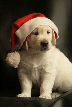 Merry Christmas Baby Yellow Labrador Retriever Puppy Holiday Dogs Santa Claus Dog Puppies #Labs Lab