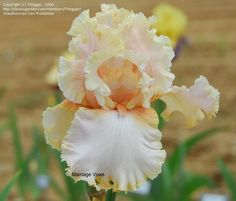 I have this Iris in my garden. Pictures does not show the true beauty of it!!!!