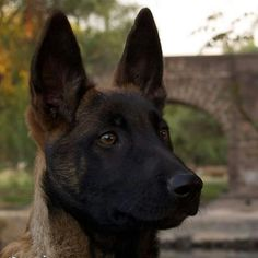 The Belgian Malinois is an alert, high-energy breed, popular as both a police and military working dog. Belgian Dog, Belgian Malinois Dog, Belgian Shepherd, Shepherd Dog, Malinois Shepherd, Horses And Dogs, Dogs And Puppies, Doggies, Belgium Malinois