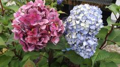 Would you believe these two flowers are on the same Hydrangea?  The Endless Summer Bloomstruck Hydrangea goes through a dramatic and beautiful color change from bud to mature flower.  Another interesting feature is the red stems. Weesies Garden Center, 2015