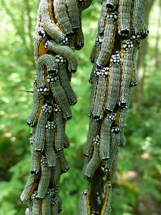 Gregarious caterpillars of the Turbulent Phosphila Moth (Phosphila turbulenta) Cool Insects, Bugs And Insects, Beautiful Bugs, Amazing Nature, Beautiful Creatures, Animals Beautiful, Wild Animals Pictures, Flying Flowers, A Bug's Life