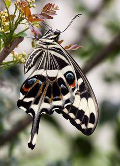 Emperor Swallowtail butterfly