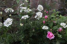 orlaya grandiflora (1136 non lus) - berrurion - Yahoo Mail