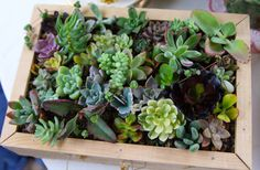 I really am considering buying this as my start to succulent gardening!  Succulents Galore A Collection of 12 Succulent by SucculentsGalore, $15.00