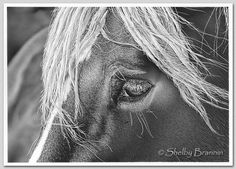 Horse Pencil Drawing by artist Shelby Brannin