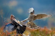 Sparrowhawk and Eurasian Ja, Telemark, Norway. [Wired-Pal Hermansen, Oslo, Norway]