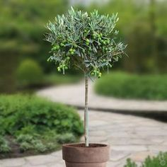 59 Super ideas for olive tree balcony planters Frosted Christmas Tree, Wall Christmas Tree, Olive Gardens, Small Gardens, Olivier En Pot, Porches, Balcony Planters, Pine Tree Tattoo, Pot Plante
