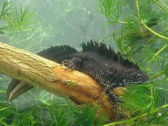 Male Great Crested Newt Water features add a peaceful sound to any garden