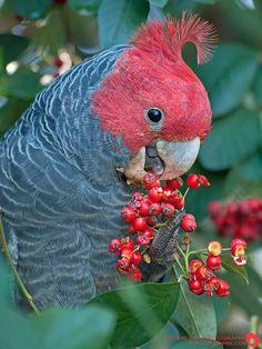 Parrot feeding on berries