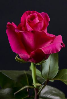 Captivating Why Rose Gardening Is So Addictive Ideas. Stupefying Why Rose Gardening Is So Addictive Ideas. Rose Pictures, Flower Photos, Beautiful Rose Flowers, Beautiful Flowers, Rosa Rose, Hybrid Tea Roses, Arte Floral, Rose Buds, Red Roses