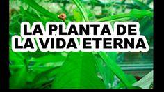 """""""LA PLANTA DE LA VIDA ETERNA"""""""" LLAMADA ASÍ POR SUS MILAGROSAS CURACIONES..."""