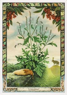 Verbana (Verbena officinalis) - Druid Plant Oracle by Stephanie Carr-Gomm, Philip Carr-Gomm, Will Worthington