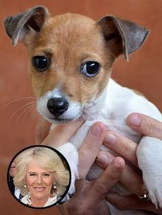 Meet the newest member of The Royal Family! Camilla Parker Bowles Adopts a Rescued Jack Russell Terrier Puppy. Meet Bluebell!