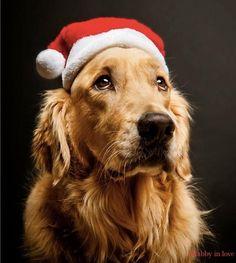 Sad Looking Santa Golden Retriever