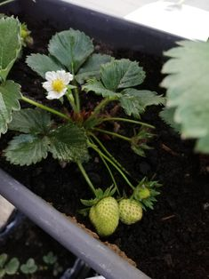 Tiny strawberries in my balcony garden Balcony Garden, Strawberries, Fruit, Strawberry Fruit, Balcony Gardening, Strawberry, Strawberry Plant