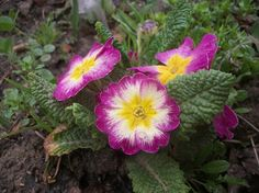 Primrose - National Geographic Your Shot