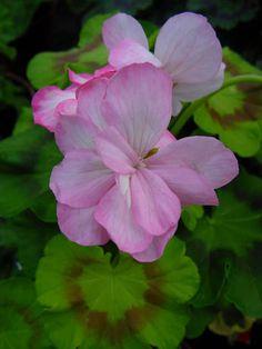 Geranium pelargonium 'Brixworth Bouquet'