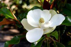 Magnolia grandiflora 'Bracken's Brown Beauty'