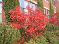 Red chokeberry or Aronia brilliantisimo; white flowers in spring, leaves turn red and grow red berries in late fall and winter; in wide Euonymus Alatus, Gardening Zones, Planting, Burning Bush, Pyrus, Fall Fruits, Rain Garden, Garden Landscape Design, Edible Garden