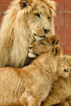 Lion family - lion and cubs - wild animals Animals And Pets, Baby Animals, Cute Animals, Wild Animals, Nature Animals, Beautiful Cats, Animals Beautiful, Beautiful Family, Simply Beautiful