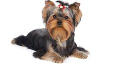 Yorkshire Terriers is healthy and long living dog breed. This breed prone to some health problems like eye infections, bronchitis, skin allergies, genetic disorders, bladder stones, early tooth decay, poor tolerance to anesthetics, and delicate digestion.