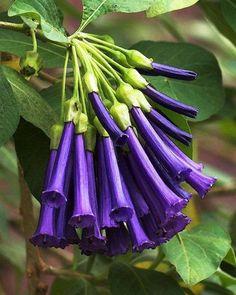 Purple Violet Tubeflower 15965460_365110713862346_5708927519253049648_n.jpg (564×705)