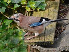 Vogelbescherming Nederland | Tuinvogelweb
