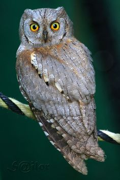 Owl by Egon Philipp Owl Bird, Pet Birds, Small Owl, Screech Owl, Owl Always Love You, Beautiful Owl, Wise Owl, Baby Owls, Owl Babies