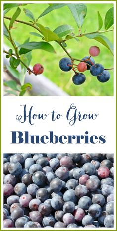 Blueberry plants should produce lots of berries if they