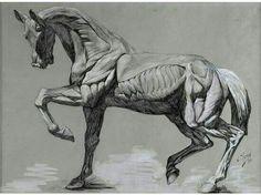 Anatomía caballo