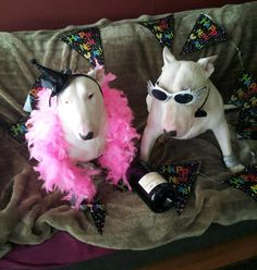 #Bullterriers after party))