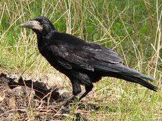 Грач (фото): Птица, которая приносит на крыльях весну