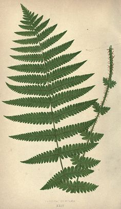 n281_w1150 - Our native ferns, or, A history of the British species and their varieties /. London :Groombridge,1865-1867..