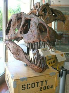 Crâne de Scotty, le T. rex